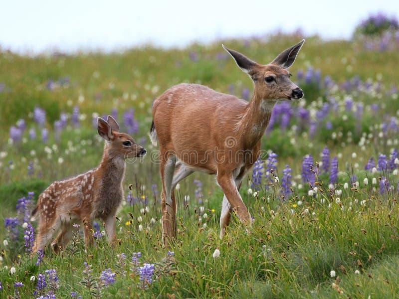 Mutter-und Baby-Rotwild in den Blumen stockfotos