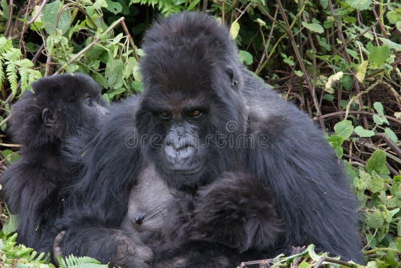 Mutter und Kind in der Berggorillafamilie Ruanda lizenzfreie stockfotos