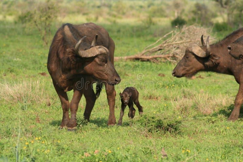 Mutter-und Schätzchen-Büffel stockfoto