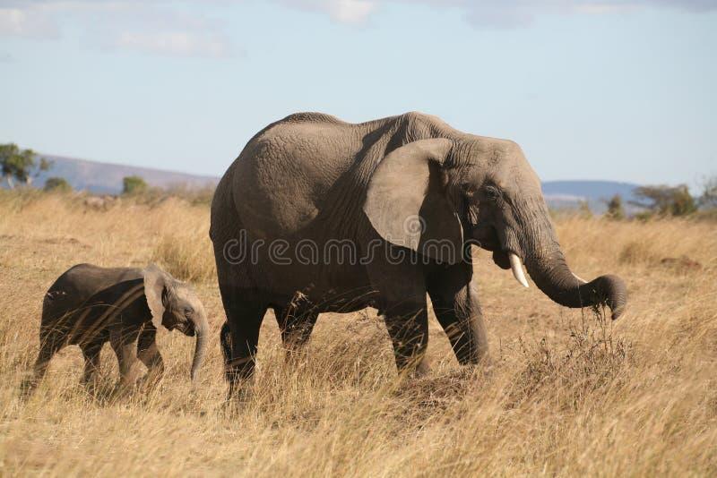 Mutter- und Schätzchenelefant, der durch das Gras geht lizenzfreies stockbild
