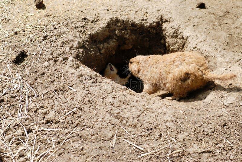 Mutter- und Schätzchengraslandhund durch Höhle stockfotos