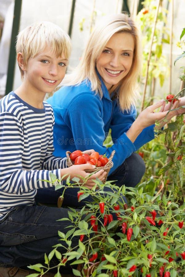 Mutter und Sohn, die Tomaten ernten lizenzfreie stockfotos