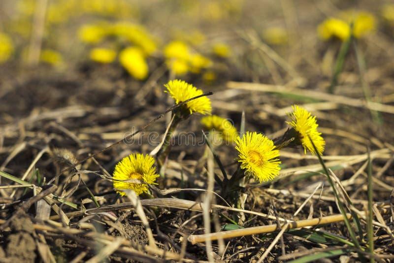 Mutter und Stiefmutter - erste gelbe Vorfrühlingsblume auf dem Gebiet, unter dem trockenen Gras Die Sammlung der Heilpflanze stockbilder