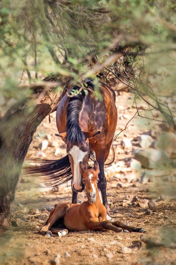 Mutter-wildes Pferd mit neugeborenem Fohlen stockbilder
