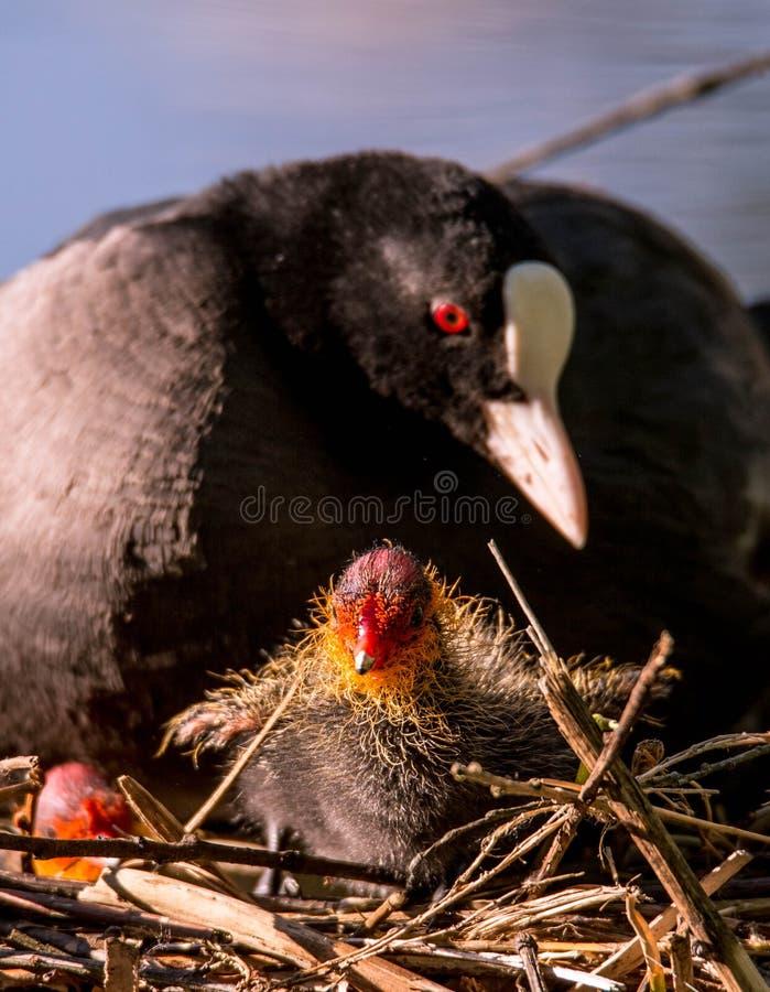 Mutterblässhuhn und sein Baby stockbild