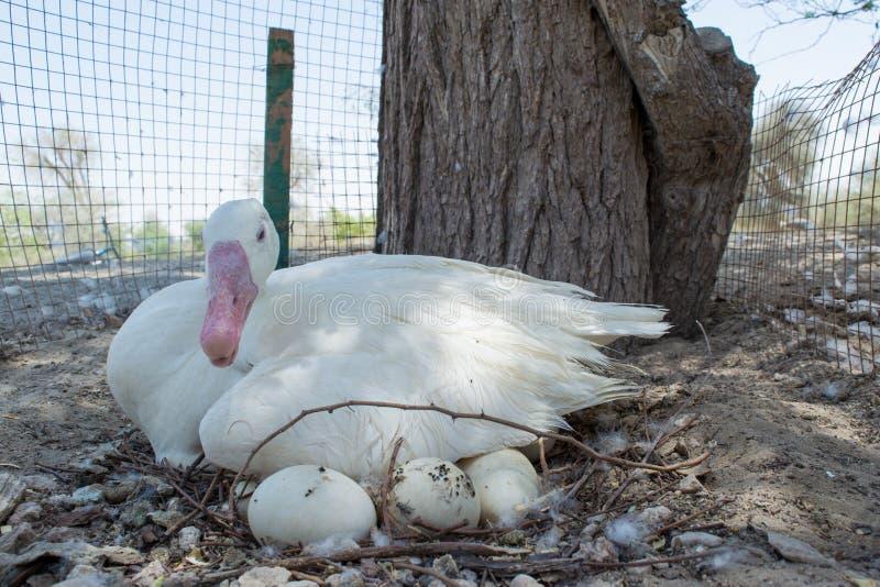 Mutterente, die auf ihren Eiern sitzt stockfotos