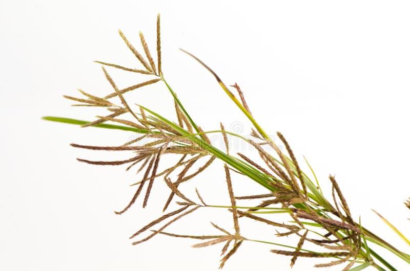 Muttergräs, purpurfärgad nutsedge, Nutsedge (Cyperusrotundusen Linn ), royaltyfri bild