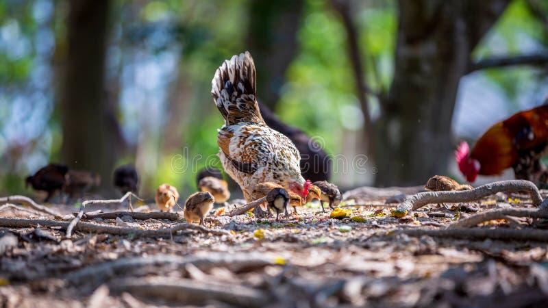 Mutterhenne und ihre Baby Hühner, die Korn auf dem Boden picken Küken mit ihrer Mutter, die Korn auf dem Boden isst lizenzfreies stockbild