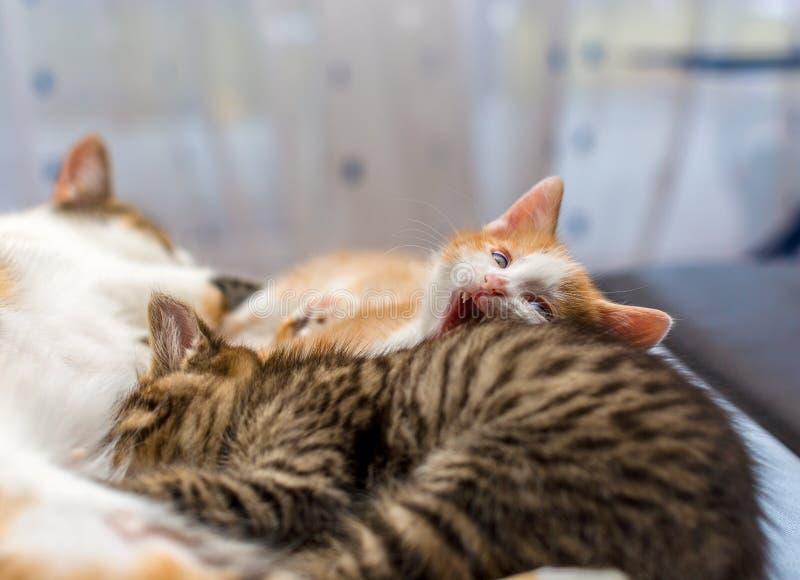 Mutterkatze, die oben kleine Kätzchen, Abschluss pflegt Graues Kätzchen der getigerten Katze saugt Milch, nettes Ingwerkätzchenge stockfotos