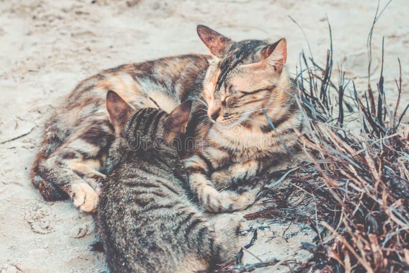 Mutterkatze, die wenig Kätzchen auf dem Strand stillt stockfotos