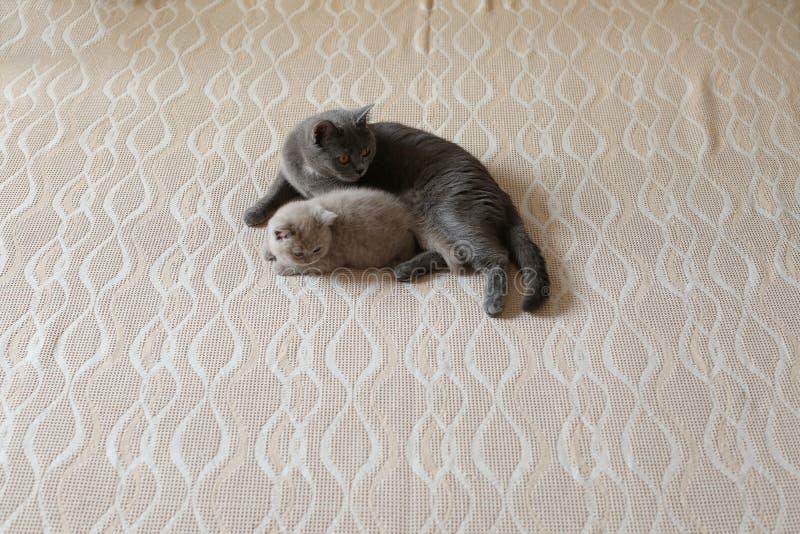 Mutterkatze und Kätzchen, die auf dem Bett, Britisch Kurzhaar-Blau liegen stockfotografie