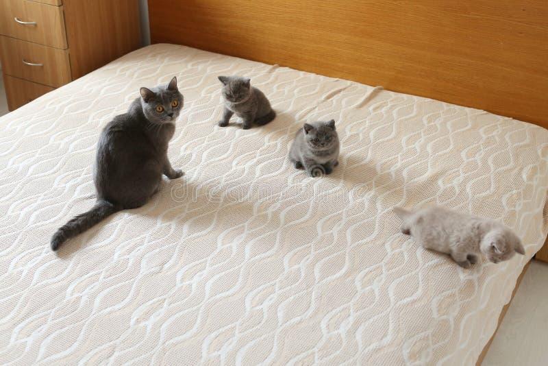 Mutterkatze und Kätzchen, die auf dem Bett, Britisch Kurzhaar-Blau liegen stockfoto