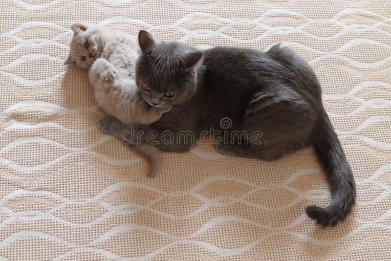 Mutterkatze und Kätzchen, die auf dem Bett, Britisch Kurzhaar-Blau liegen lizenzfreie stockbilder