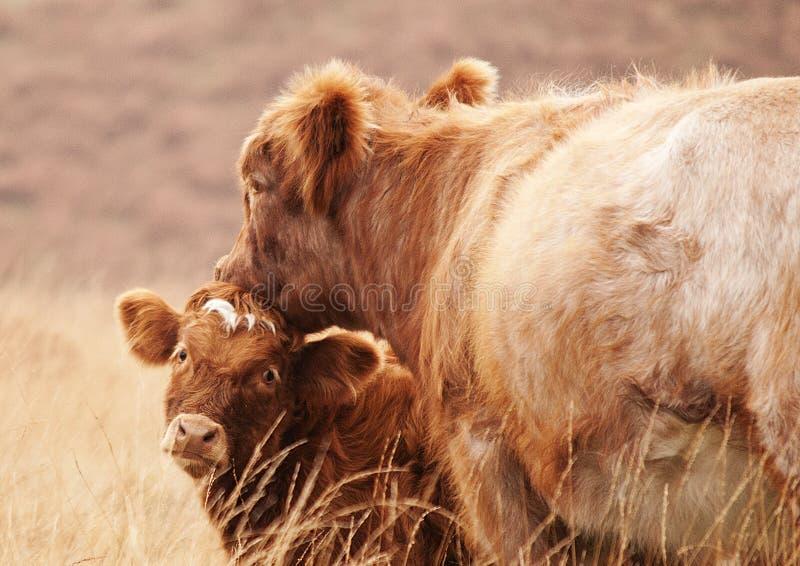 Mutterkuh und ihr Kalb lizenzfreie stockbilder