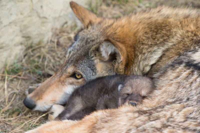 Mutterliebe des Timberwolfs stockfotos