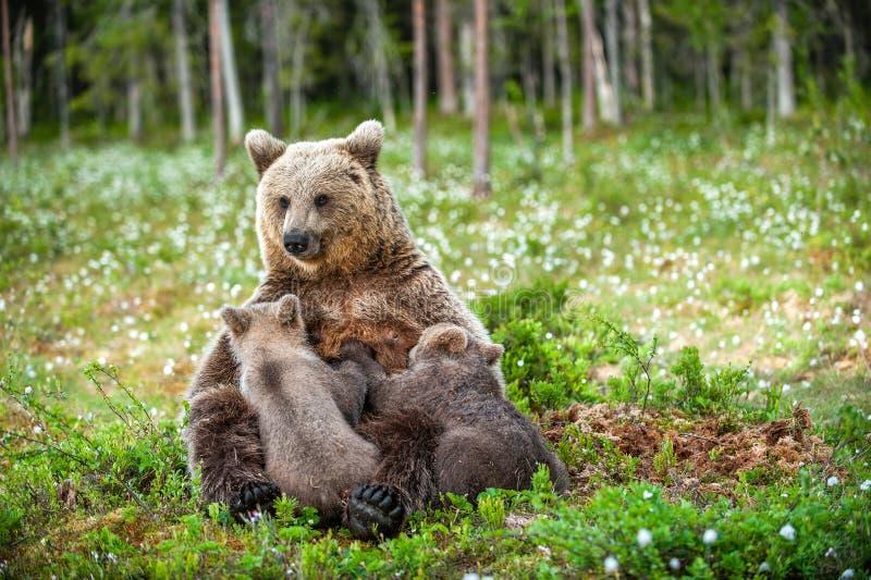 Muttermilchjunge des Sie-Bären Fütterungs Braunbär, wissenschaftlicher Name: Ursus arctos sommerzeit lizenzfreie stockfotografie