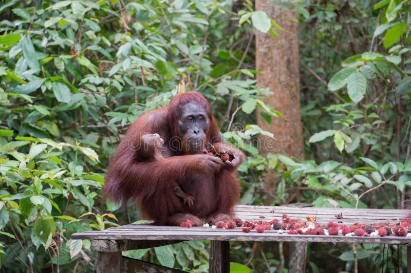 Mutterorang-utan hält auf Händen ihr kleines Kind und isst reifes r lizenzfreie stockbilder