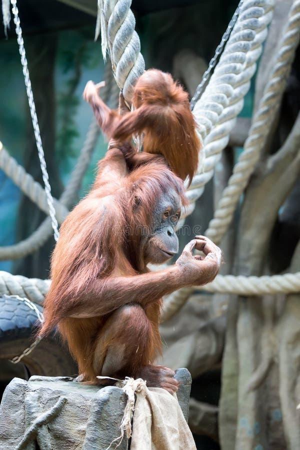 Mutterorang-utan mit ihrem Schätzchen lizenzfreies stockfoto