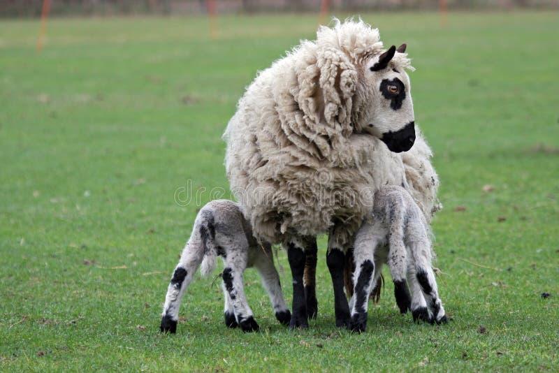 Mutterschaf, das ihr neugeborene Lämmer speist lizenzfreie stockfotografie