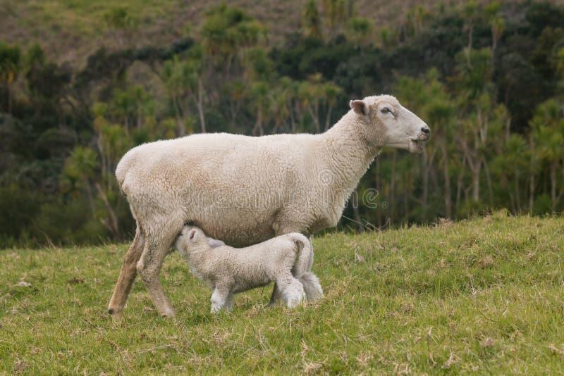 Mutterschaf, das sein Lamm einzieht stockfotos