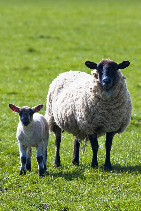 Mutterschaf mit ihrem Lamm lizenzfreies stockfoto