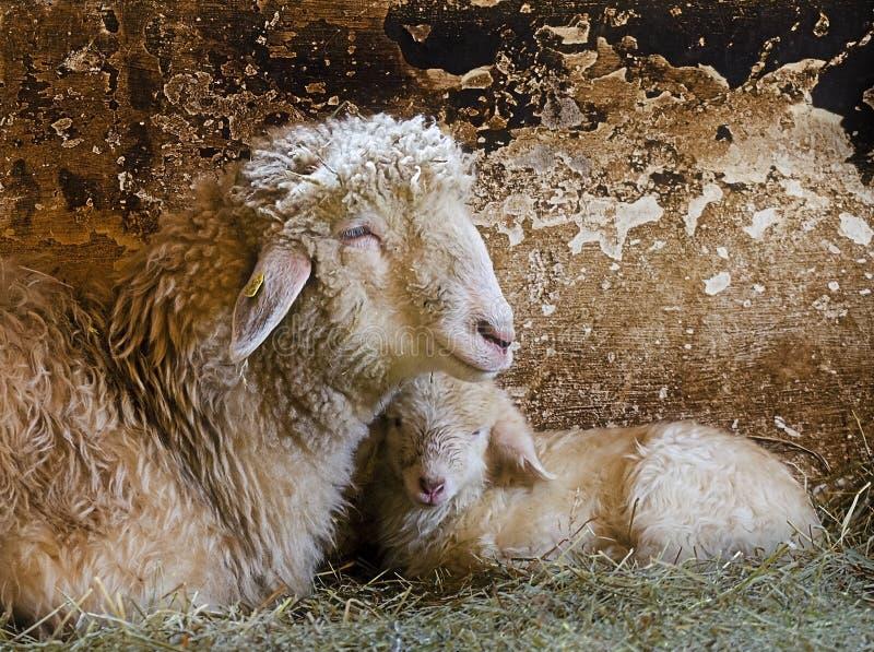 Mutterschaf mit Lamm lizenzfreie stockfotografie