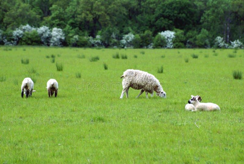 Mutterschaf und Lämmer auf einem Gebiet während der Frühlings-Saison stockfoto