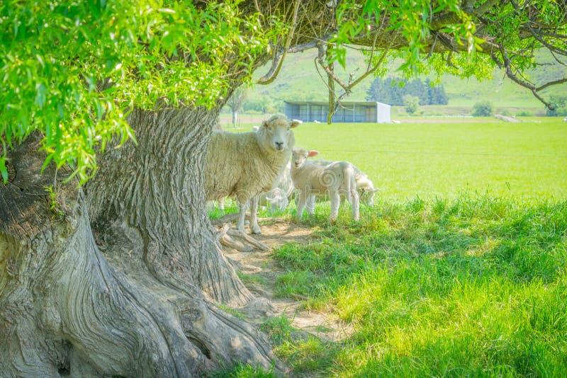 Mutterschaf und Lämmer, die im Schatten des gnarly alten Weidenbaums schützen lizenzfreies stockfoto