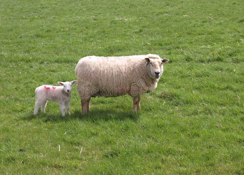 Mutterschaf und Lamm lizenzfreie stockfotos