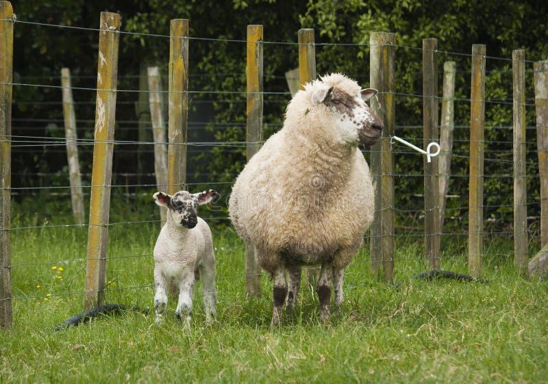 Mutterschaf und Lamm lizenzfreie stockbilder