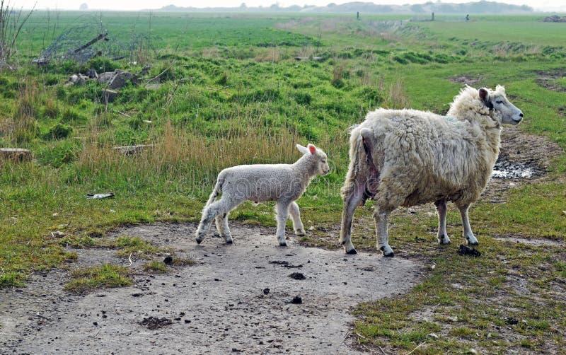 Mutterschafe und ihr Babylamm auf dem grasartigen Gebiet lizenzfreie stockfotos
