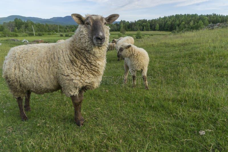 Mutterschafe und ihr Lamm stockfotografie