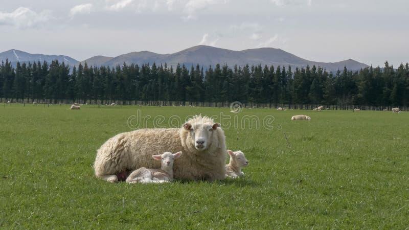 Mutterschafreste mit ihren zwei jungen Lämmern auf einem Bauernhof lizenzfreie stockfotografie