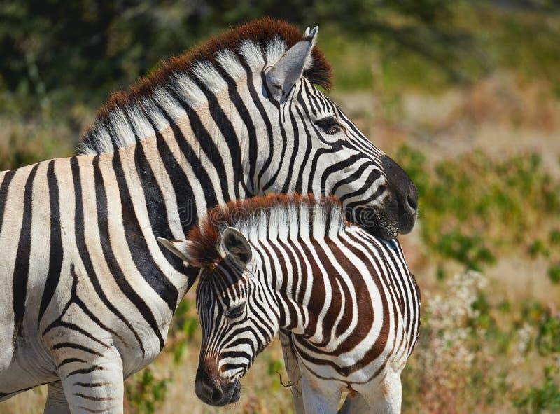 Mutterzebra und ihr Junges stockfoto