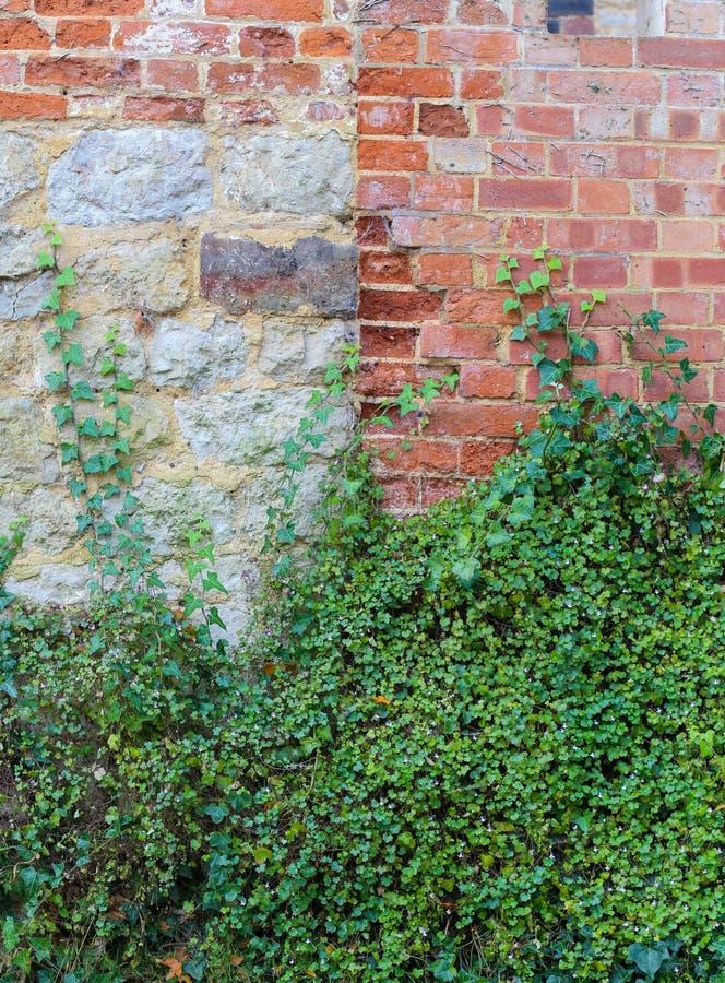 Muur die behandelend installaties op rode baksteen en steenmuur beklimmen stock foto's
