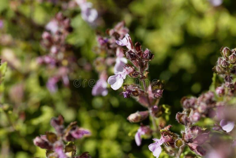 Muur germander Teucrium chamaedrys royalty-vrije stock afbeeldingen