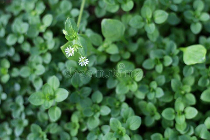 Muur, Stellaria-media Jonge smaak zeer zacht met aroma van noten U kunt hen in verse groentesalades gebruiken E stock foto