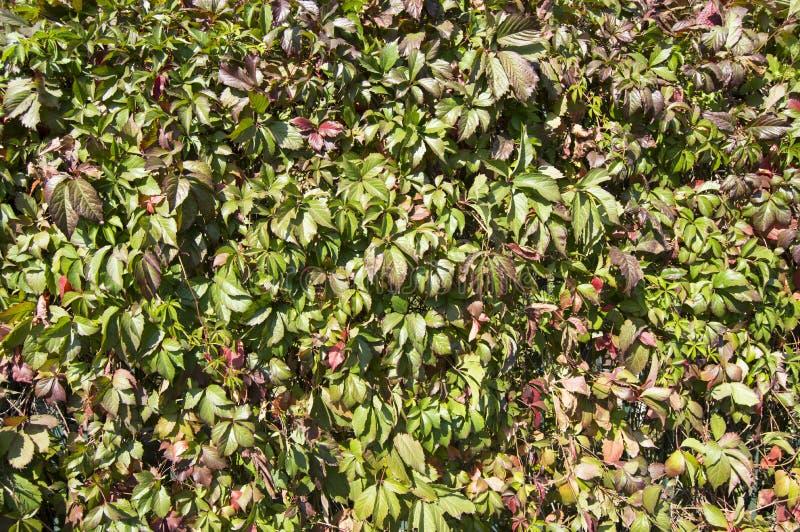 Muur van groene druiven Natuurlijke achtergrond royalty-vrije stock afbeeldingen