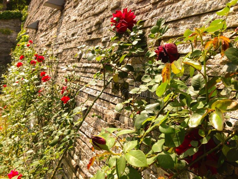 Muur van rozen royalty-vrije stock afbeelding