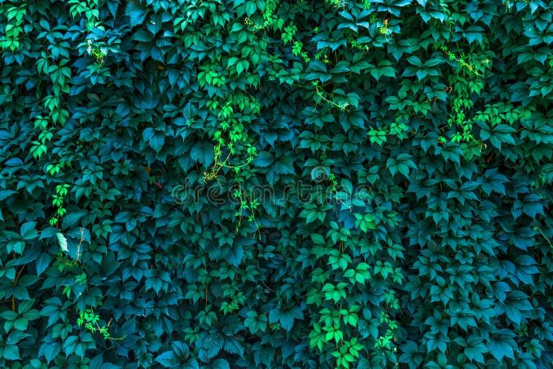 Muur van wilde druivenachtergrond voor blogplaats of foto royalty-vrije stock afbeelding