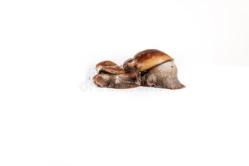 Muzzle of an African snail on a white isolated background, macro. A brown garden snail on a white background stock photography