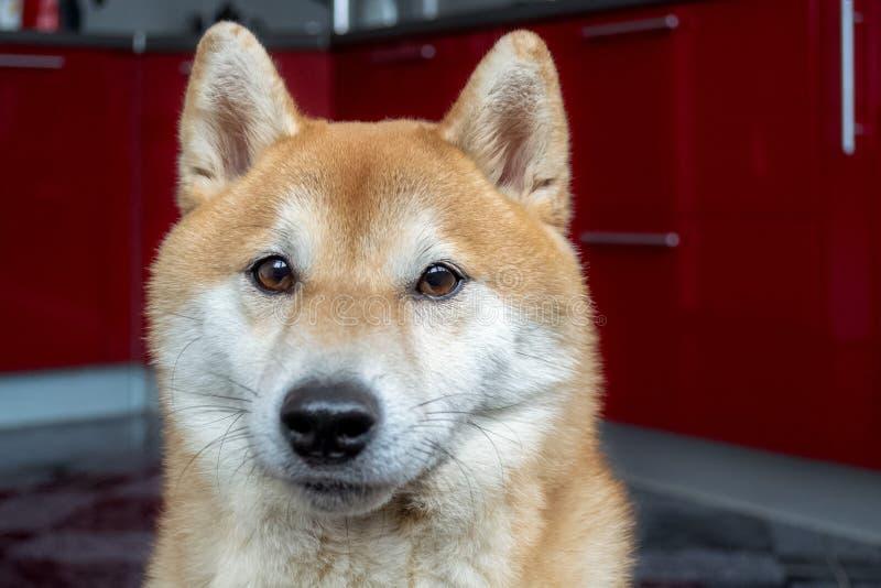 Muzzle of a beautiful ginger dog. Close up portrait of the pet. Shiba Inu. Muzzle of a beautiful ginger dog. Close up portrait of the pet. Blurred background stock photos