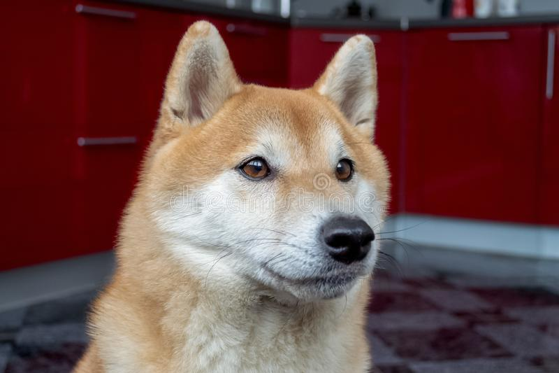 Muzzle of a beautiful ginger dog. Close up portrait of the pet. Shiba Inu. Muzzle of a beautiful ginger dog. Close up portrait of the pet. Blurred background stock photo