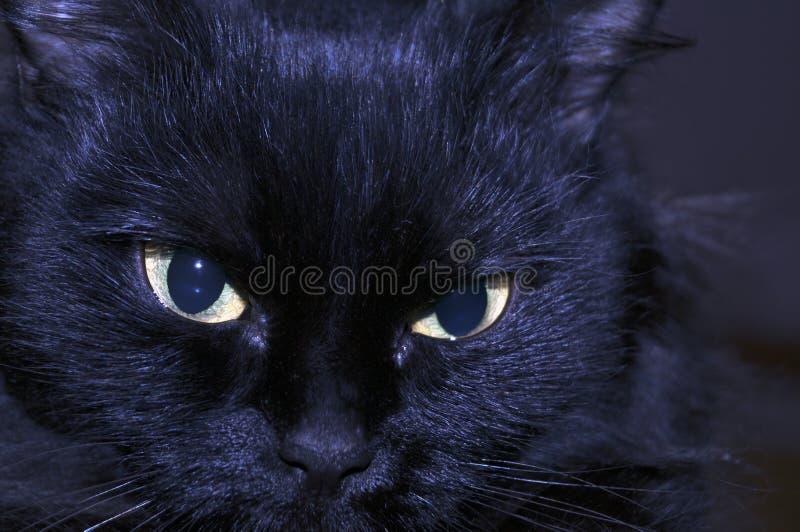 Muzzle black medium hair pretty cats. With big almond shaped beautiful eyes royalty free stock photos
