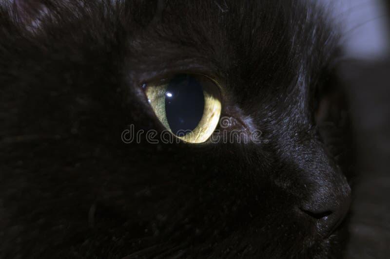 Muzzle black medium hair pretty cats. With big almond shaped beautiful eyes stock photography
