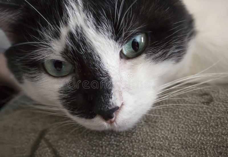 Muzzle of a black and white cat with greenish - blue eyes close - up. Muzzle of a black and white cat with greenish - blue eyes close up stock photos