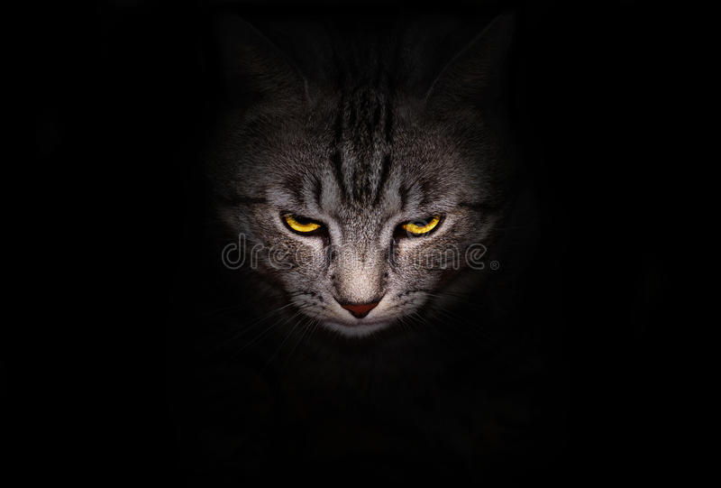 Muzzle and bright yellow eyes cat stares menacingly out of the darkness. On a black background stock photos