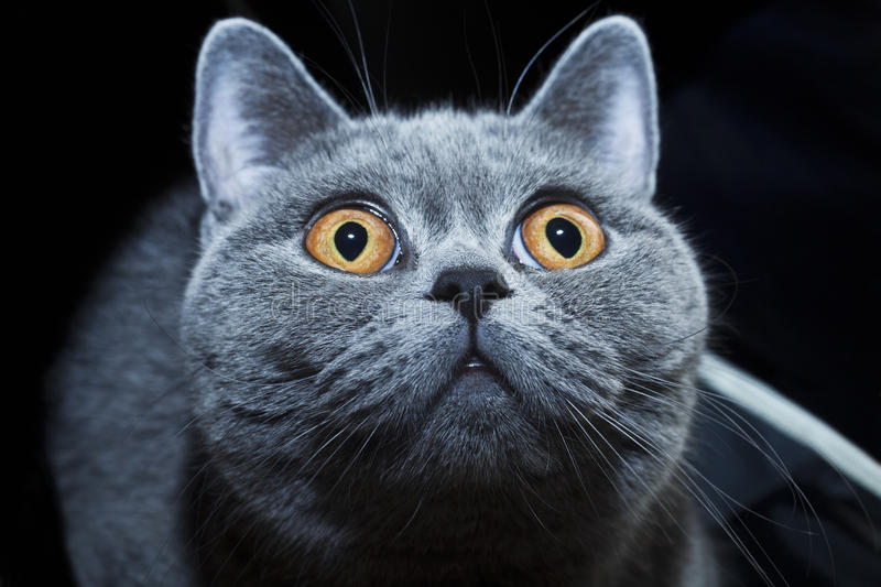 Muzzle of British gray cat stock photography