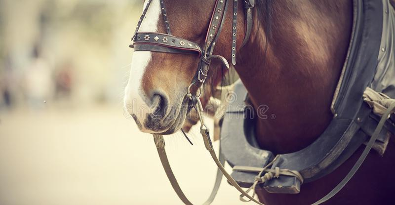 The muzzle is draught horse harnessed to a carriage stock images