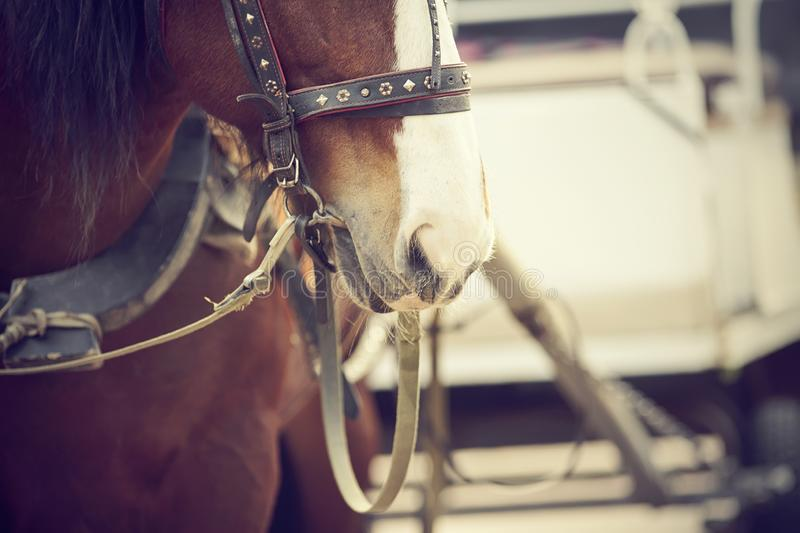 The muzzle is draught horse harnessed to a carriage royalty free stock image